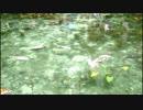 モネの池 20180923
