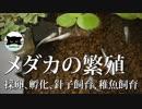 【メダカの繁殖】採卵、孵化、針子飼育、稚魚飼育
