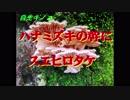 自生キノコ ハナミズキの幹にスエヒロタケ