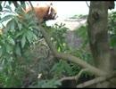 レッサーパンダ  「いる。」~怖すぎる投稿映像13本~Vol.20