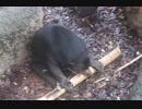 マレーグマの器用な竹割り(上野動物園)