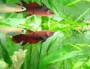 すごく・・・日本淡水魚です 50 【交流】 thumbnail