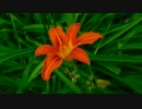 Close-Up Video Of Orange Flower @ 佐藤想一郎