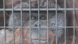 フランジが凄いオランウータンのフトシ君(千葉市動物公園)