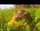 ケヅメリクガメ。 祝!!沙原さん1周年!!⑳