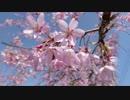 【桜】3月31日(土)兵庫県内各地のお花見ツーリング前編【SV650S】
