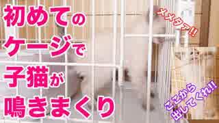 【初日】子猫がケージで鳴きまくる Kitten in a cage