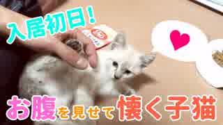 飼った初日からお腹を見せて懐く子猫【気持ちよすぎてKO寸前!?】