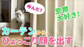 【子猫のかくれんぼ】カーテンからひょっこりと顔を出したと思いきや…