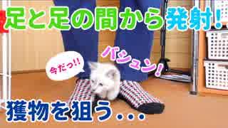 【遊ぶ子猫】飼い主の足と足の間から発射する猫砲