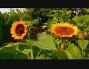 Summer Sunflower Blooms @ 蓮尾紀樹