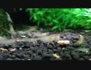 ミナミヌマエビ給餌