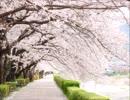 【オリジナル】「さよなら」は桜の言の葉に... (Flute&Piano)