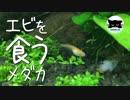 【おまけ】エビを食うメダカ