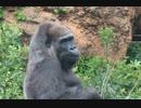 第44位:晩年の人生を生きる:国内最高齢のゴリラのピーコさん(上野動物園)