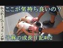 第91位:子豚の成長日記#02 気持ち良い所を探すよ! thumbnail