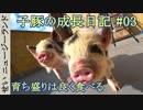 子豚の成長日記#03 育ち盛りは良く食べる!【ニュージーランド】