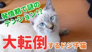 発情期で盛る子猫が走り回って大転倒!