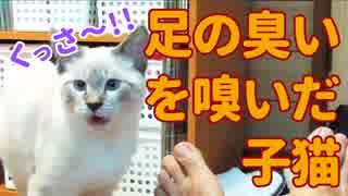 くっさ〜!飼い主の足の臭いを嗅いで悶絶する子猫【フレーメン現象】