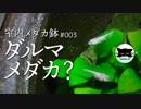 【室内メダカ鉢#3】ダルマメダカ?