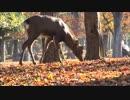 鹿に紅葉【奈良公園】