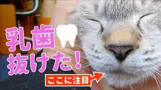 抜け落ちた子猫の乳歯を発見!貴重な乳歯をお披露目します