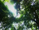 【癒し動画】アブラゼミの鳴き声(睡眠用BGM・作業用BGM・ASMR)