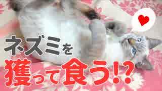 子猫がネズミを獲って食べる!?飼い主の注意も完全に無視で…
