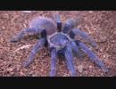 [閲覧注意!!] タランチュラ(サジマイブルー)にゴキブリを与えてみた。(Pterinopelma sazimai)