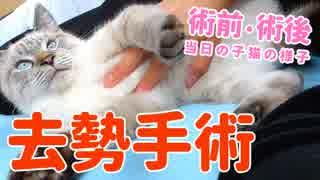 子猫の去勢手術!手術前と後、当日の様子【生後半年】