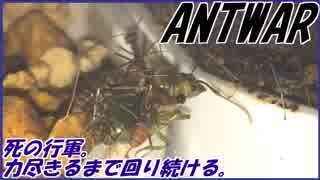 アリ達が死の行軍を始めてしまった・・・。~アリのデススパイラル~