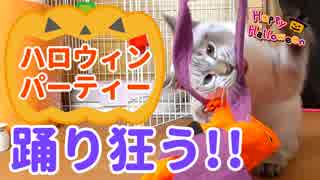 ハロウィンで子猫が踊り狂う!パーティーは大荒れで…【ほぼ渋谷】