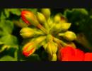 Close-Up Video Of Flower Buds 田平雪乃
