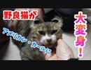アメリカンカールに憧れている野良猫ミーちゃん