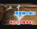 猫も扇風機の風にあたって寝るらしい