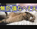 無防備にへそ天する猫