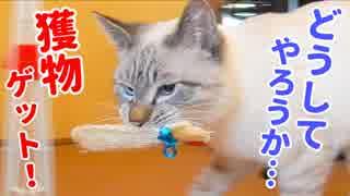 普段は甘えん坊の猫が豹変して手に入れた獲物は最終的にアレになりました