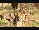 狩りごっこする双子のサーバルキッズ (多摩動物公園)