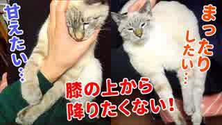飼い主の膝の上で甘え、眠り、毛づくろいをする猫がかわいすぎる【作業用デュフィ】