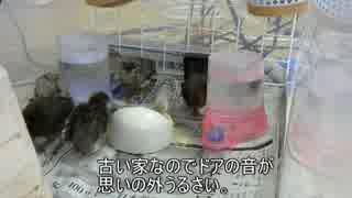 ヒメウズラ 孵化15日目