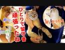第35位:帰宅してすぐスリスリ攻撃をしてくる猫がかわいすぎた【デュフィの留守番後編】 thumbnail
