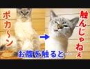 柔らかそうなお腹の毛を触ると猫の態度が急変しました…