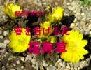 野花を求めて 春を告げる花 福寿草