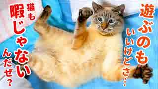 大人ぶって遊びをやめるも、ついついおもちゃに釣られちゃう猫がかわいすぎる