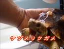 ケヅメリクガメ。ある日の沙原さんと猫。