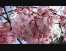 第43位:【紲星あかり車載】ネコのように気まぐれに Part.1 河津桜
