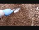 きゅうり栽培実況vol.75   H30秋24  オフシーズンにまた暇人のごとく穴を掘ってみる。