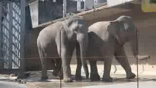 【閲覧注意!】アジアゾウ:恋の季節(多摩動物公園)