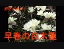 野花を求めて 早春の白木蓮