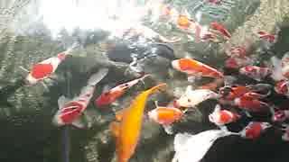 ぞろぞろ、ついてくる鯉の大群!